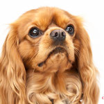 Happy - Réf 240528 - Cavalier King Charles - M - Tournage & Photos - Rem : Dogdance +++ - Comprends le danois