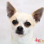 Shy - Réf 100813 - Chihuahua - M - Photos uniquement - Rem : Donne la patte - Aboie sur commande - Pardon