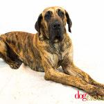 Django - Réf 100806 - X Dogue allemand - M - Tournages & photos - Rem : Obéissance - Tourne au pied