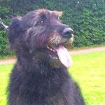 Balou - Réf 140821/16 - Bouvier X lévrier anglais - M - 2010 - Tournages & Photos - Obéissance +++ - Rem : très grand chien