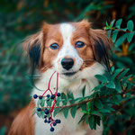Ludie - Réf 251170717 - Kooikerhondje - F - Rem : Brevet obéissance - Expo, Agility, Dogdancing, Tricks, Obédiance