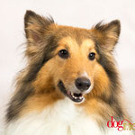 Heidi - Réf 100819 - Sheltie - F - Tournages & Photos - Rem : Agility