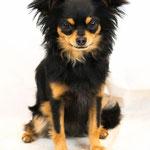 Kléa - Réf 100807 - Chihuahua - F - Tournage & Photos - Rem : Dog Dancing