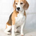 Garry - Réf 300827 - Beagle - M - Tournages & Photos - Base en obéissance