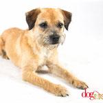 Kerry - Réf 200705 - Border terrier - M - Tournage & photos - Rem : Obéissance +++ - Trés réactif - GAGNANT Dog Model saison 1