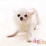 Fabi - Réf 270915 - Chihuahua - F - Tournage & Photo - Rem : habitué à porter des lunettes