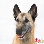Ginger - Réf 260705 - Laekenois - M - Tournage & Photos - Rem : Obéissance +++ - Dogdance - Agility