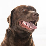 Fellow - Réf 270906 - Labrador - Tournage & Photos - M - Rem : Obéissance