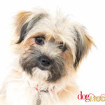 Mistinguette - Réf 260719 - Terrier - F - Tournage & photos - Rem : Obéissance - Agility - Clicker - Activité assistée par l'animal