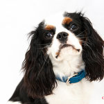 Bailey - Réf 240526 - Cavalier King Charles - Tournages & Photos - Rem : Dogdance +++