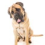 Magic -  Réf : 270909 - Mastiff UK - M - Tournage & Photos - Rem : Expo - Chien très imposant (95kg)