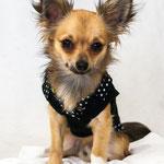 Bibi - Réf : 070819 - Chihuahua - M - Photos uniquement