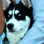Nanouk - Ref 270020817 - Husky Sibérien - M - Rem : Expo, Obédiance, Traineau, Canicross