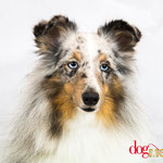 Blue - Réf 100803 - Berger Shetland - M - Tournages & Photos - Rem : Dogdance - Salut - Clicker