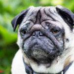 Joey - Réf : 250607/16 - M - Carlin - Tournage & photos - Rem : chien très très calme