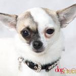 Holly - Réf 300816 - Chihuahua - F - Tournage & Photos