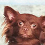 Choco - Ref 08090316 - M - Chihuahua - 2014 - Obéissance de base - Rem : donne la patte cherche et rapporte son jouet, joueur.
