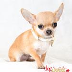 Piouiou - Réf 260709 - Chihuahua - M - Tournage & Photos - Rem : Apprentissage rapide