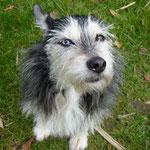 Zoé - Réf 176200317 - F - Yorkshire X Husky - Obéissance de base - Rem : yeux vairons
