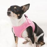Héra - Réf 270917 -  Chihuahua - F - Tournage & Photos - Rem : donne la patte