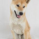 Hoshi - Réf 140605 - Shiba Inu - M - Tournage & photos - Rem : Obéissance - Tape dans la main