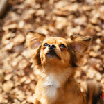Luna  - Ref 17040416 - F - Chihuahua X Pinscher - 2013 - Obéissance de base - Rem : tricks : roule, fait la morte, donne la patte, etc