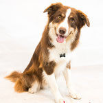 Lucky - Réf 1008 - Border Collie - M - Tournage & Photos - Rem : Dogdance - Agility -