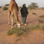 Man with several of their camels