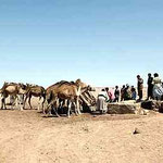 Camels drink water from a well