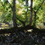murets en pierre sèche et son arbre faisant office de clôture
