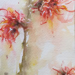 Witch Hazel - Price on Request