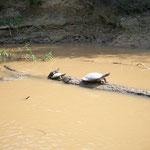 Wasserschildkröten beim Sonnenbad