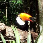 Der Tucan hat einen beeindruckenden Schnabel