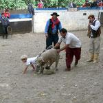 Schafreiten für die Kinder am Rodeo, das war sehr lustig