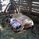 Es gibt neben Kühen, Pferden, Hunden auch Schweine und selbstverständlich Hühner und Katzen auf der Estancia Loninga