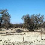 Tamarugo Baum der in der Wüste überleben kann.