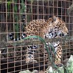 Im Zoo von Guayaquil herrschen etwas beengende Verhältnisse. Dafür hatte es viel Schatten, auch für uns Besucher bei 32 Grad angenehm