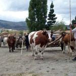 Die Ehrengäste die nicht mehr reiten können, dürfen auf dem Ochsenwagen am Umzug teilnehmen