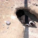 Mutter Pinguin sonnt sich, wärend das Junge noch tief in der Höhle ist.