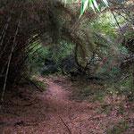 Der Wanderweg auf den 1600m hohen Cerro del Dedal im argentinischen Nationalpark Los Alerces. Auf den unteren 700 Höhenmetern meist dichten Wald mit dieser Bambusart, die es nur in Argentinien und Chile gibt