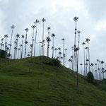 Das Valle de Cocora ist bekannt wegen seinen eindrückichen Wachspalmen, die fast nur hier wachsen