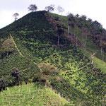Pflücken der Kaffeebohnen in den steilen Hängen um Chinchina ist eine anstrengende aber schlecht bezahlte Arbeit