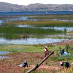 Neben dem Schilfgürtel vom Titicacasee bleibt oft ein Stück Land um anzubauen, hier Kartoffeln