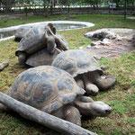 Galapagos Schildkröten, die grössten der Welt, im Zoo bei Quito