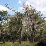Die Bäume auf Feuerland sind oft verdorrt dafür, haben sie diese Bärte.