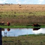 Im Grenzgebiet Paraguay, Argentinien, Brasilien, Uruguay ist es sumpfig, die Kühe stehen oft bis zum Bauch im Wasser