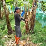 Mit dem Schneidewerkzeug werden die Bananenstrünke voim Baum getrennt und kommen auf die gepolsterte Achsel eines Arbeiters