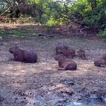 Die seltenen Capybaras (Wasserschweine)  sehen wir häufig