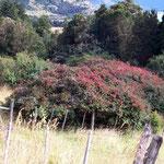 An der Südlichen Carretera Austral hat es sehr viele Fuchsien-Büsche