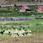 Am Titicacasee auf 3810m wird auch Korn angebaut und in Burdeli getrocknet